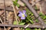 HSNP Goat Rock Trail Field Pansy