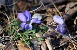HSNP Honeysuckle Trail Birds-Foot Violet