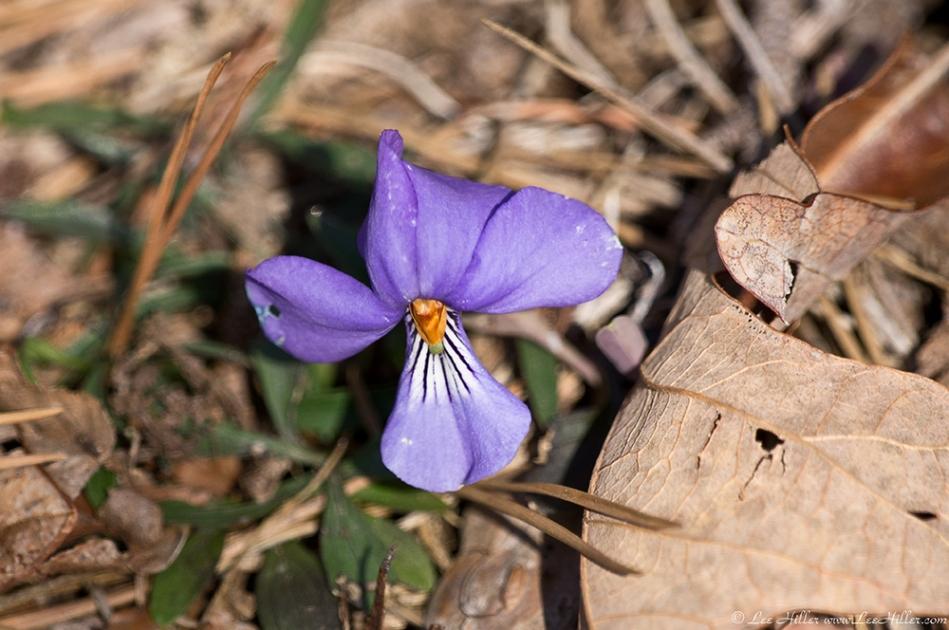 HSNP Hot Springs Mt Trail Birds-Foot Violet