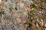 HSNP Hot Springs Mt Trail Colorful Rock Bluets