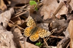 HSNP Hot Springs Mt Trail Variegated Fritillary Butterfly