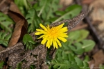 HSNP Oak Trail Dandelion