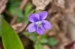 HSNP Oak Trail Wooly Blue Violet