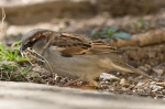 HSNP Fountain St Lawn Male Sparrow