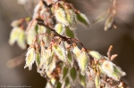 HSNP Hot Springs Mt Trail Elm Seeds