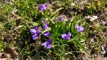 HSNP Hot Springs Mt Trail Spiderwort