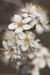 HSNP Hot Springs Mt Trail Wild Plum Blossoms