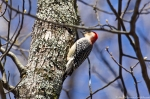 HSNP Hot Springs Mt Rd Male Red Bellied Woodpecker