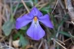 HSNP Hot Springs Mt Trail Birds-Foot Violet