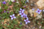 HSNP Peak Trail Bluets