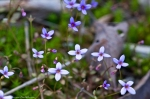 HSNP Canyon Trail Bluets