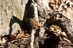 HSNP Canyon Trail Carolina Wren