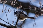 HSNP Sunset Trail Carolina Chickadee In Elm Tree