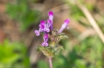 HSNP Sunset Trail Henbit