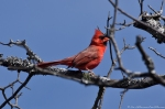 HSNP Sunset Trail Male Cardinal