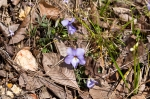 HSNP West Mt Loop Trail Birds-Foot Violet