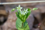 HSNP West Mt Loop Trail Chickweed