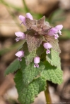 HSNP Goat Rock Trail Deadnettle