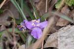 HSNP Goat Rock Trail Spiderwort