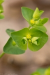 HSNP Goat Rock Trail Woodspurge