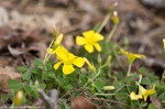 HSNP Goat Rock Trail Yellow Oxalis