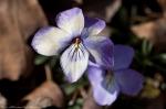 HSNP Gulpha Gorge Trail Birds Foot Violet