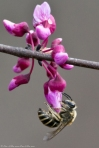 HSNP North Mt Loop Red Bud Tree
