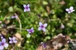 HSNP Gulpha Gorge Trail Bluets