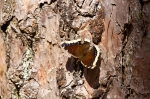 HSNP Goat Rock Trail Mourning Cloak Butterfly