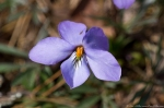 HSNP Goat Rock Trail Birds-Foot Violet