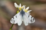 HSNP Goat Rock Trail Olympia Marble Butterfly on False Garlic