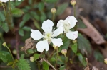 HSNP Hot Springs Mt Trail Dewberry Flower