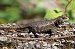 HSNP Hot Springs Mt Trail Fence Lizard