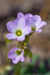HSNP Hot Springs Mt Trail Pink Oxalis