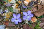HSNP Hot Springs Mt Road Birds-Foot Violet