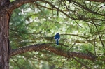 Malvern Arkansas Countryside Blue Jay