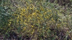 Malvern Arkansas Countryside Yellow Flowering Bush