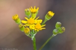 Malvern Arkansas Countryside Golden Aster