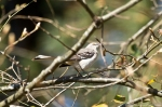 Malvern Arkansas Countryside Mockingbird