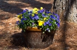 Malvern Arkansas Countryside Pansies