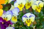 Malvern Arkansas Countryside Pansy