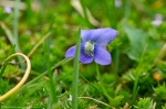 HSNP Fountain St Lawn Wooly Blue Violet