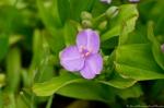 HSNP Promenade Spiderwort