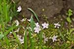 HSNP Promenade Spring Beauty