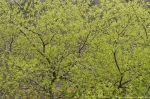 HSNP Promenade Spring Leaves