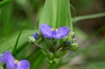 HSNP Tufa Terrace Spiderwort
