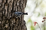 HSNP Honeysuckle Trail Black and White Warbler