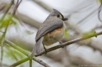 HSNP Hot Springs Mt Rd Juvenile Tufted Titmouse