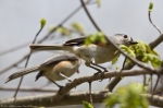 HSNP Hot Springs Mt Rd Juvenile Tufted Titmouse and Mom