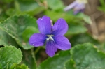 HSNP Hot Springs Mt Rd Wooly Blue Violet